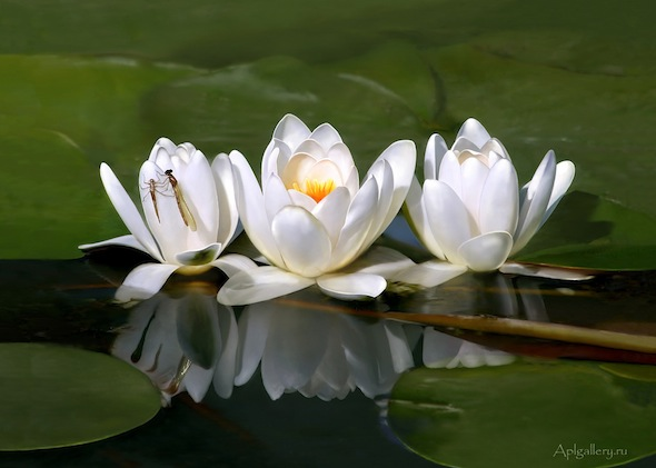 bevlogen verpleegkundigen - Waterlily by aplart via flickr