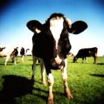 Wat kunnen wij leren van gelukkige koeien?